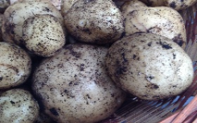 Potatoes from my garden