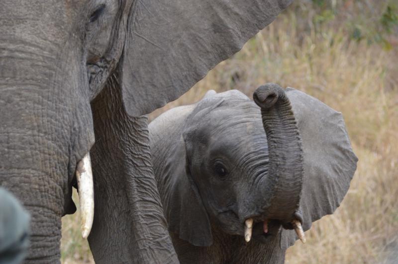 Elephants in Greater Kruger
