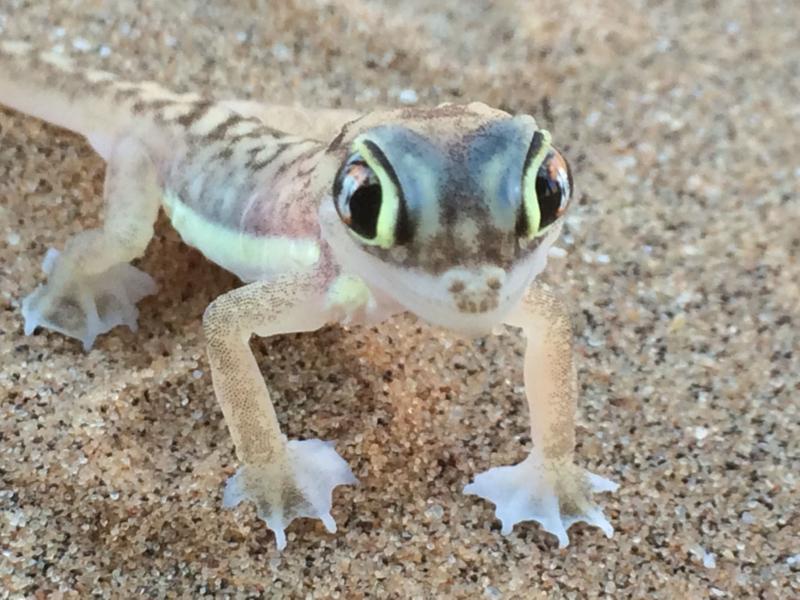 A gecko in the Namibian desert