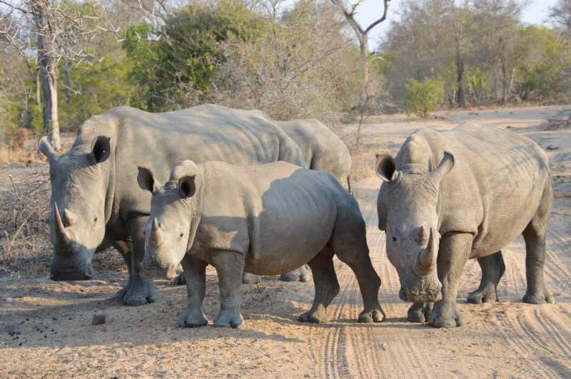 Rhinos in Greater Kruger, South Africa